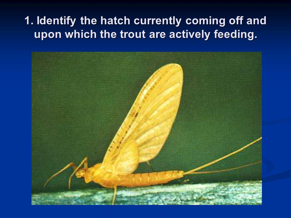 1. Identify the hatch currently coming off and upon which the trout are actively feeding.