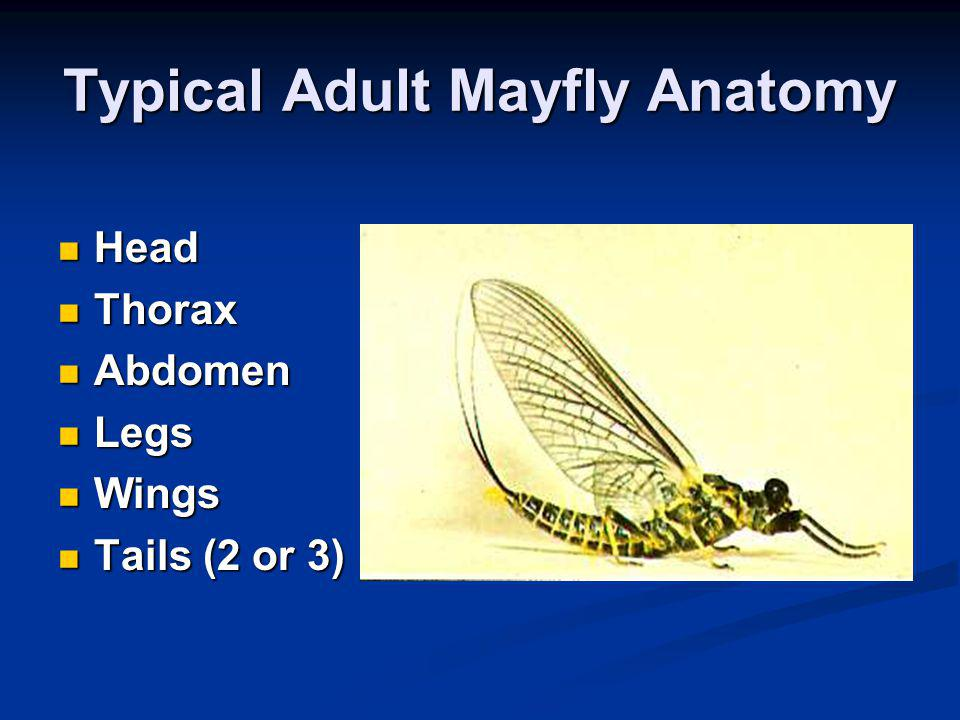 Typical Adult Mayfly Anatomy