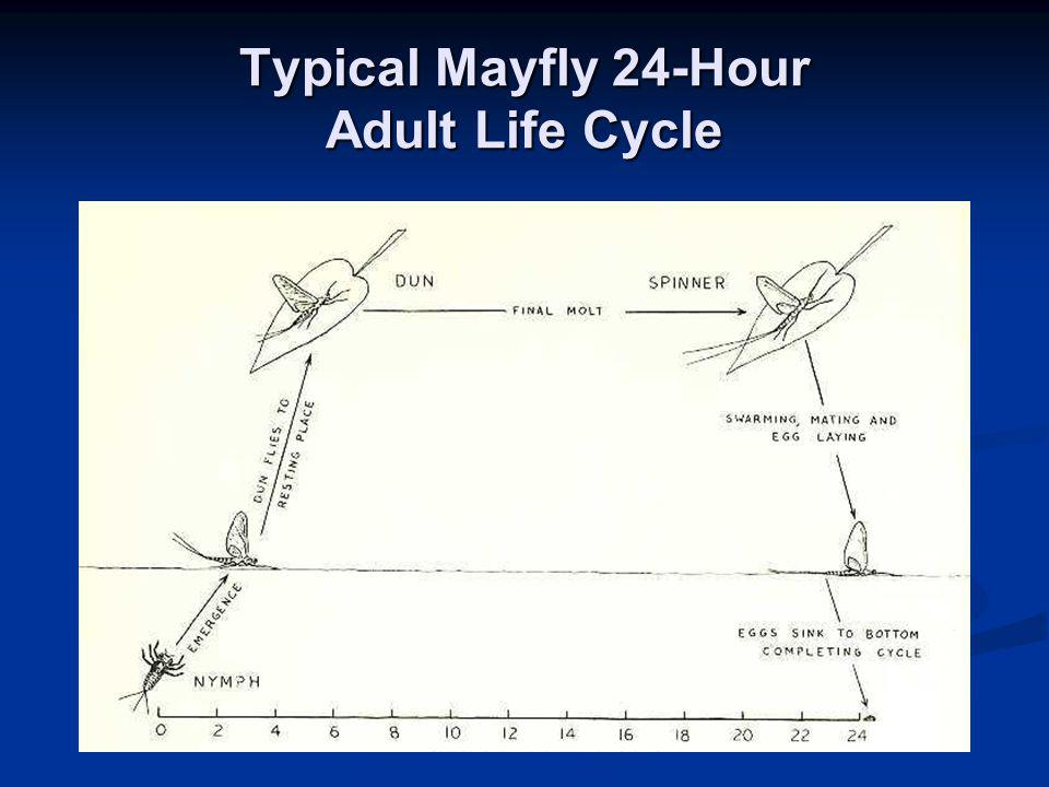 Typical Mayfly 24-Hour Adult Life Cycle