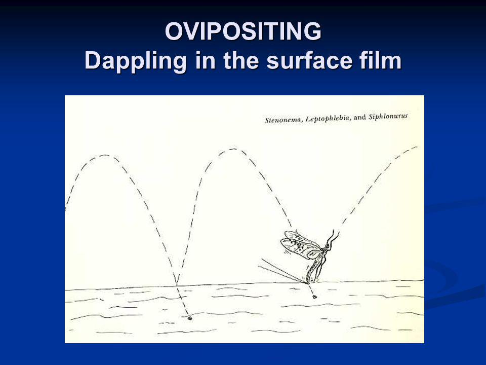OVIPOSITING Dappling in the surface film