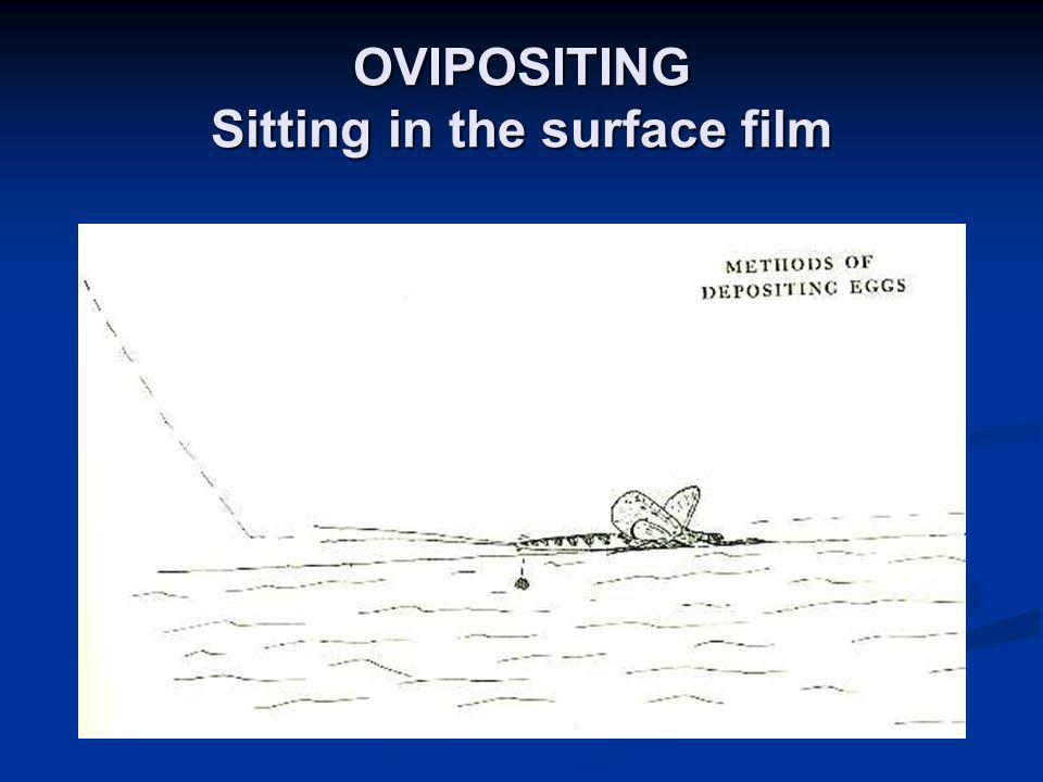 OVIPOSITING Sitting in the surface film