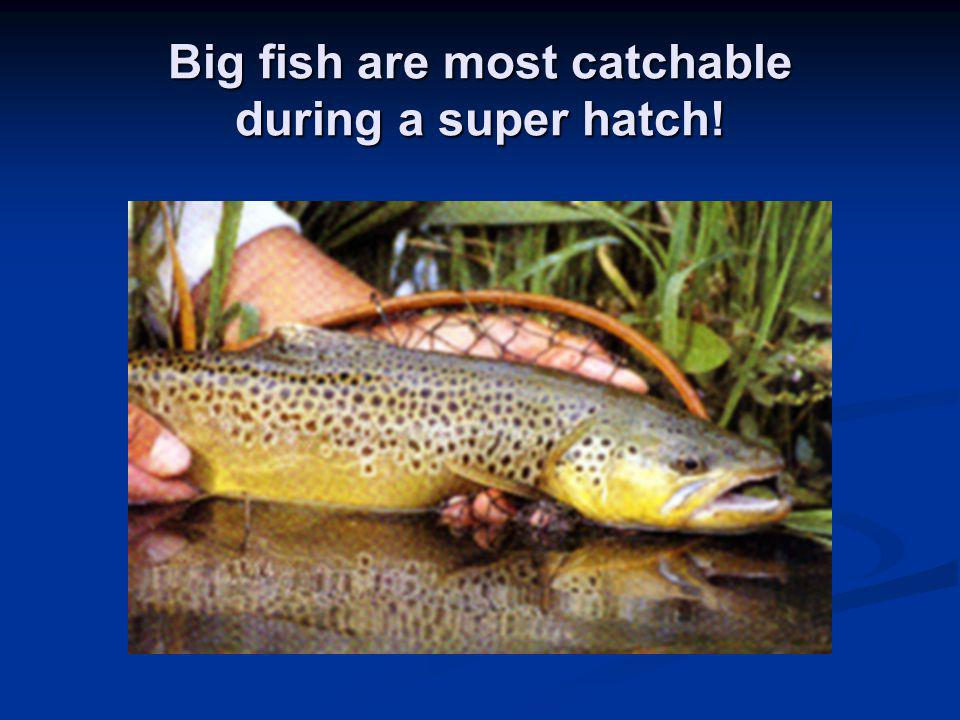 Big fish are most catchable during a super hatch!