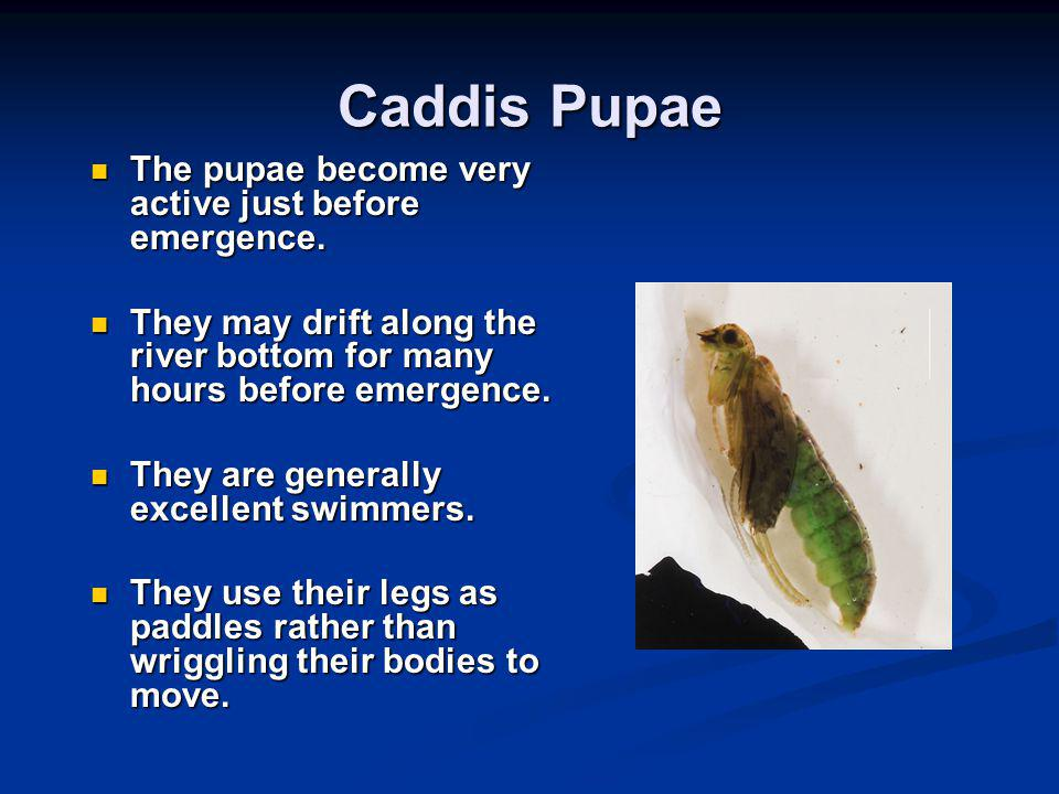 Caddis Pupae The pupae become very active just before emergence.