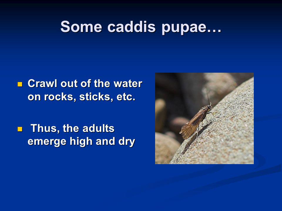 Some caddis pupae… Crawl out of the water on rocks, sticks, etc.