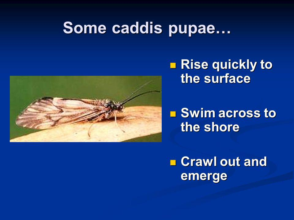Some caddis pupae… Rise quickly to the surface