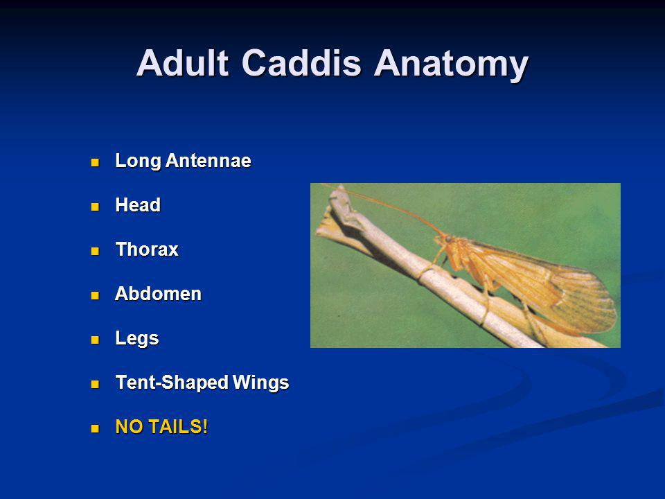 Adult Caddis Anatomy Long Antennae Head Thorax Abdomen Legs