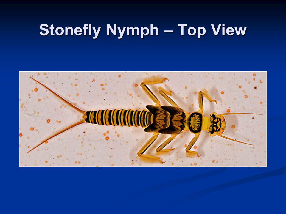 Stonefly Nymph – Top View
