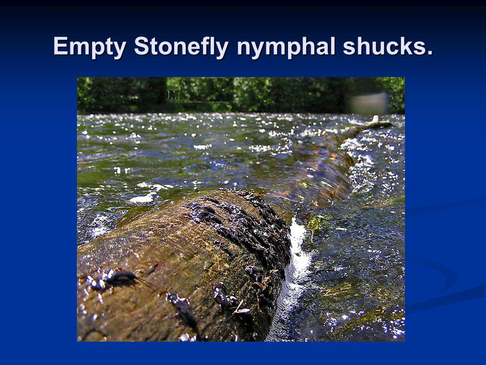Empty Stonefly nymphal shucks.