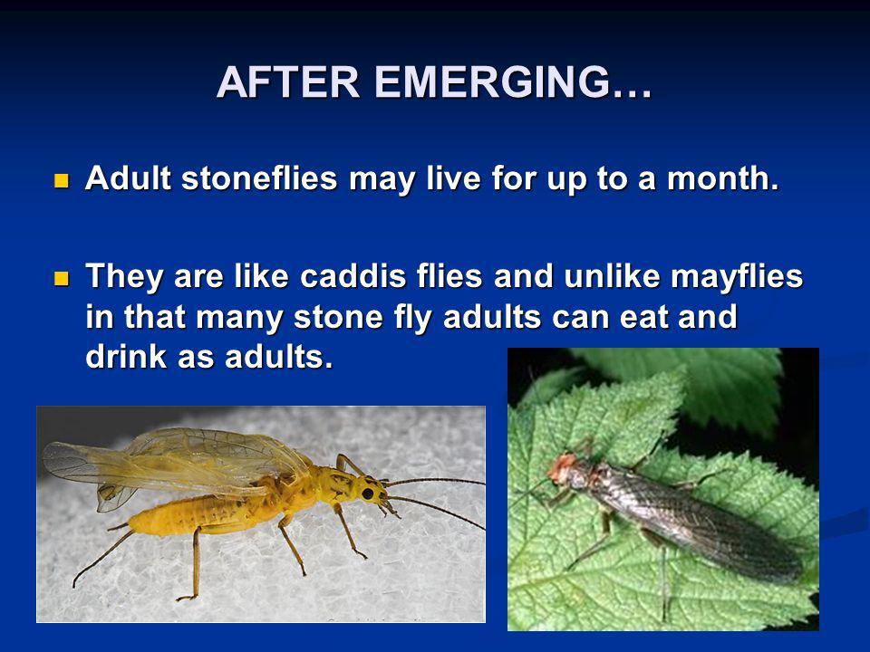 AFTER EMERGING… Adult stoneflies may live for up to a month.