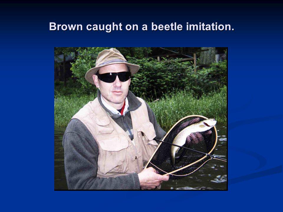 Brown caught on a beetle imitation.