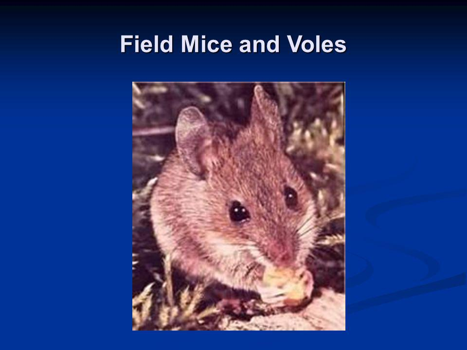 Field Mice and Voles