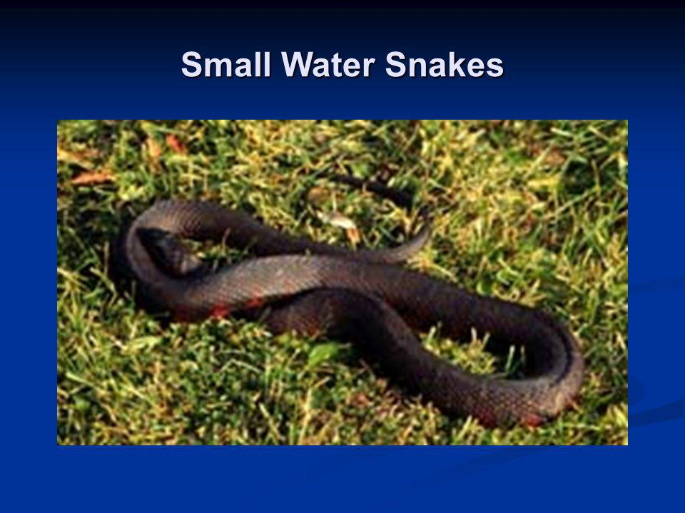 Small Water Snakes