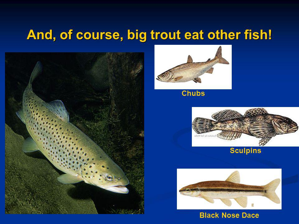 And, of course, big trout eat other fish!