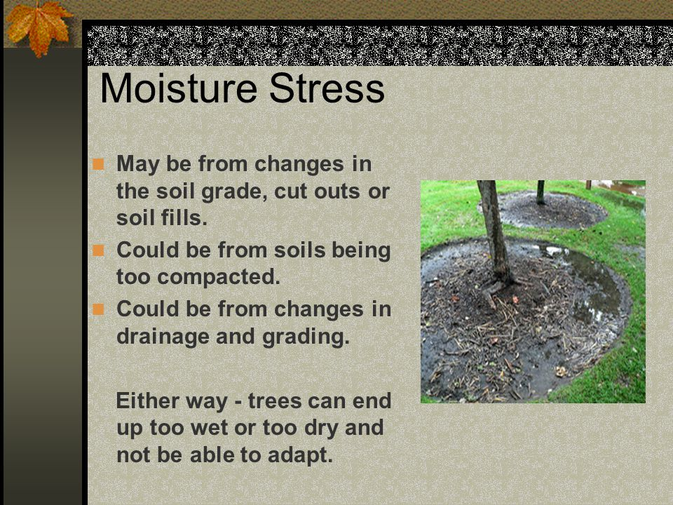 Moisture Stress May be from changes in the soil grade, cut outs or soil fills. Could be from soils being too compacted.