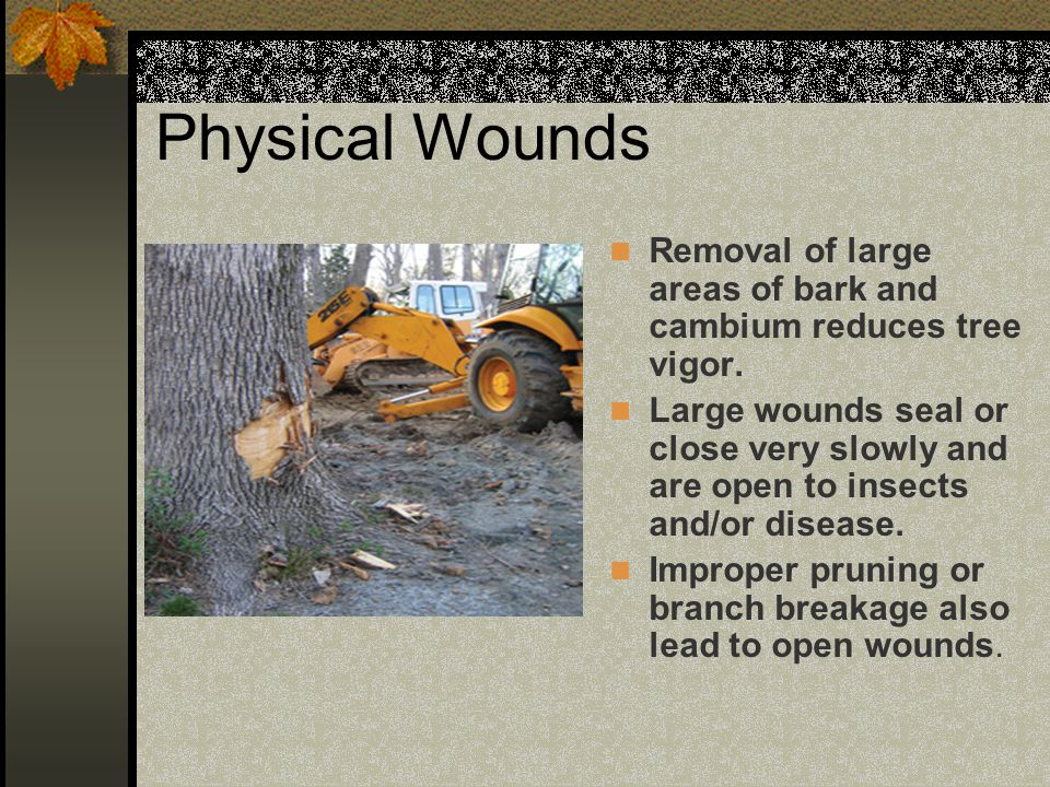 Physical Wounds Removal of large areas of bark and cambium reduces tree vigor.