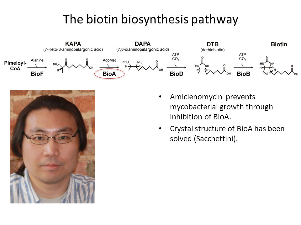 The biotin biosynthesis pathway