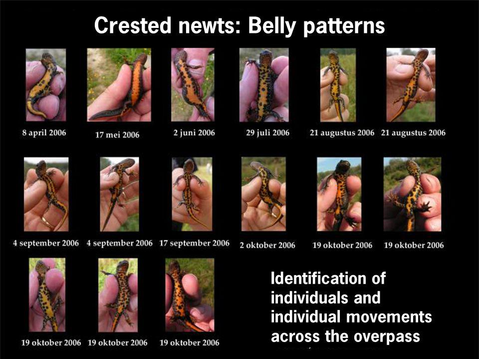 Crested newts: Belly patterns