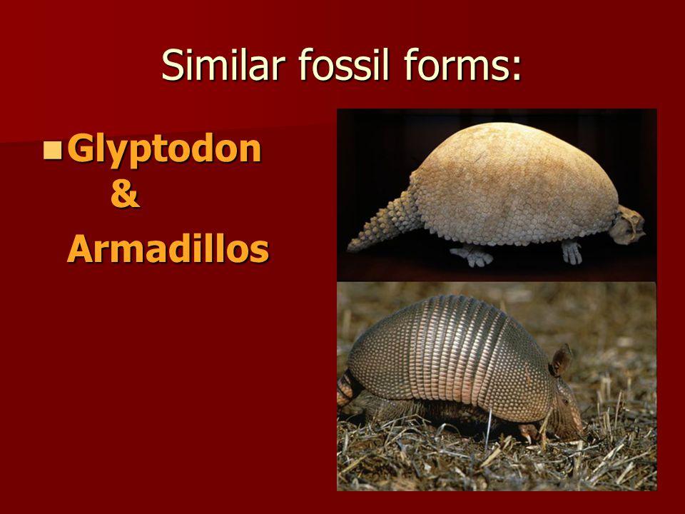 Similar fossil forms: Glyptodon & Armadillos