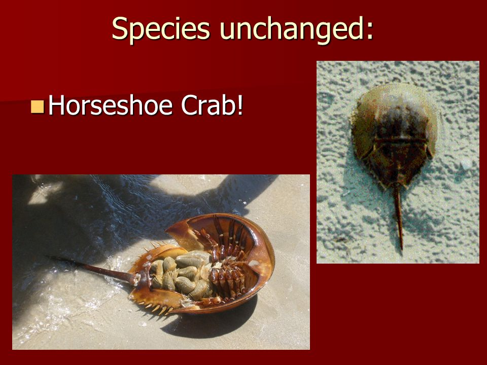 Species unchanged: Horseshoe Crab!