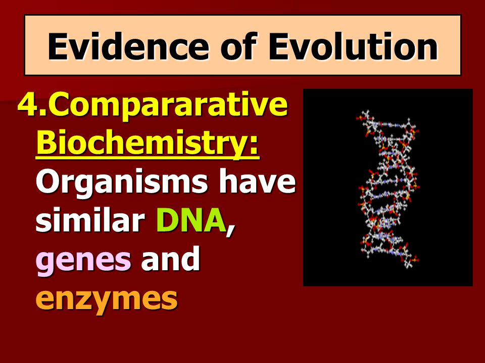 Evidence of Evolution 4.Compararative Biochemistry: Organisms have similar DNA, genes and enzymes