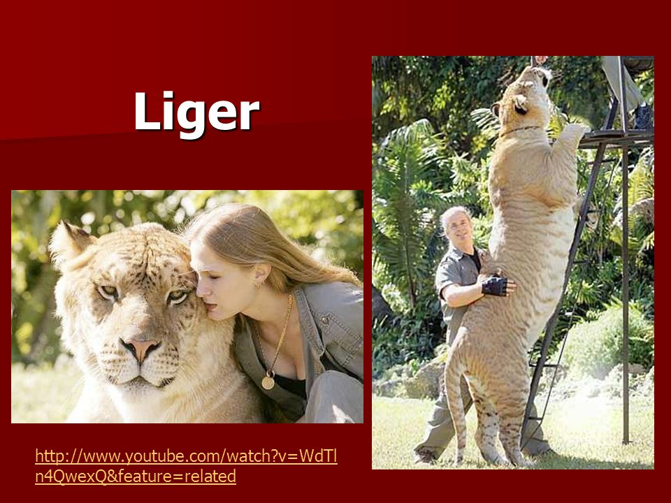 Liger http://www.youtube.com/watch v=WdTln4QwexQ&feature=related