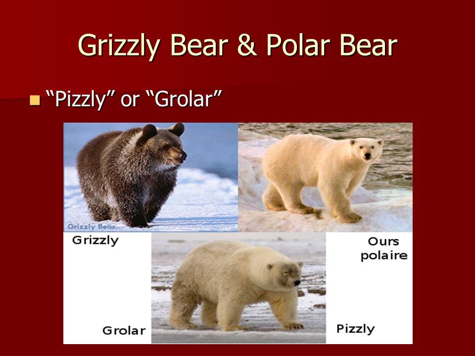 Grizzly Bear & Polar Bear