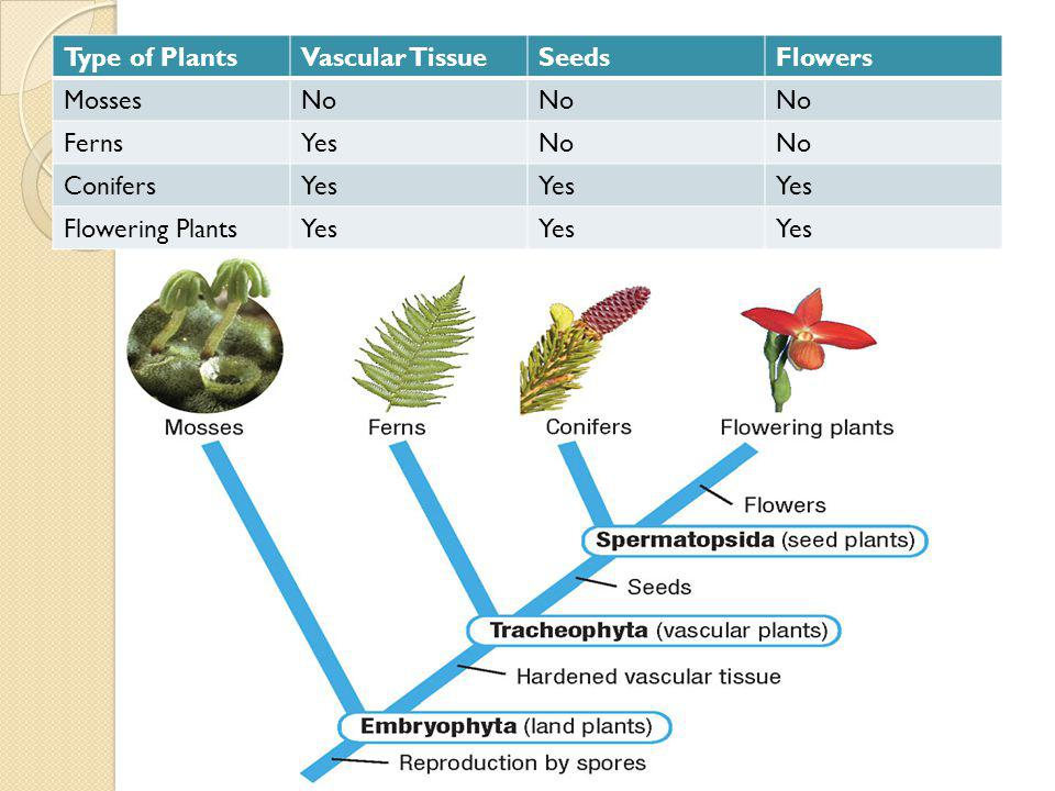 Type of Plants Vascular Tissue Seeds Flowers Mosses No Ferns Yes Conifers Flowering Plants