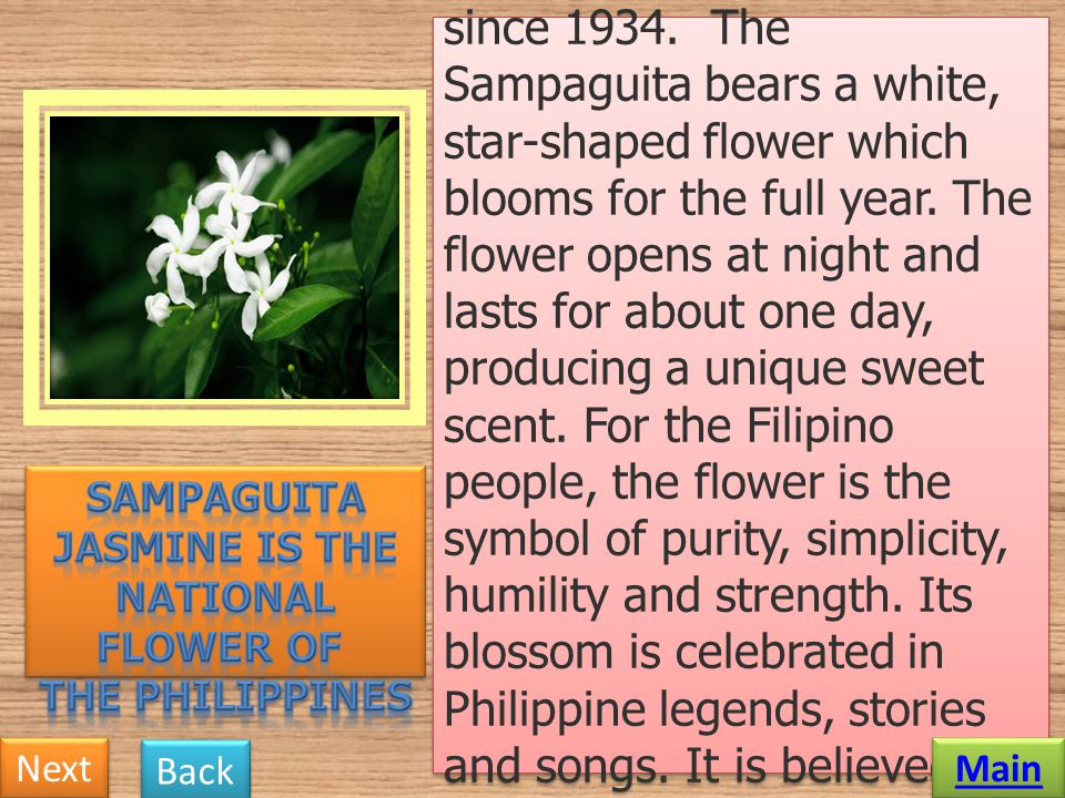 Sampaguita Jasmine is the national flower of the Philippines