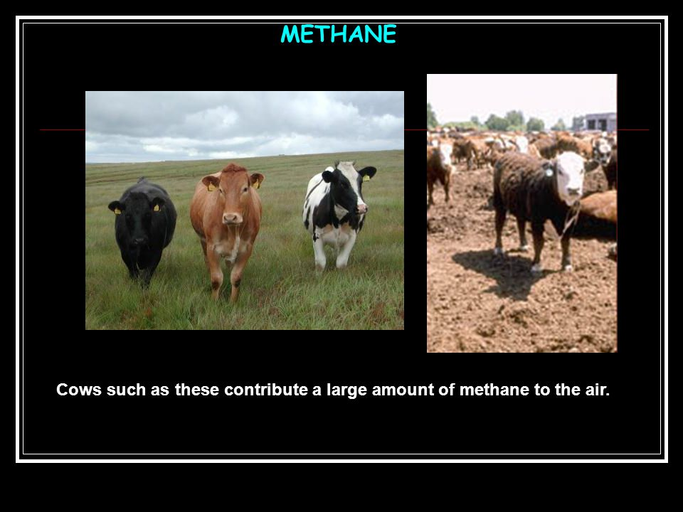 Cows such as these contribute a large amount of methane to the air.