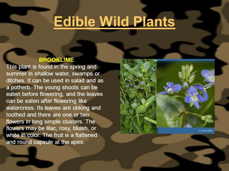 Edible Wild Plants BROOKLIME