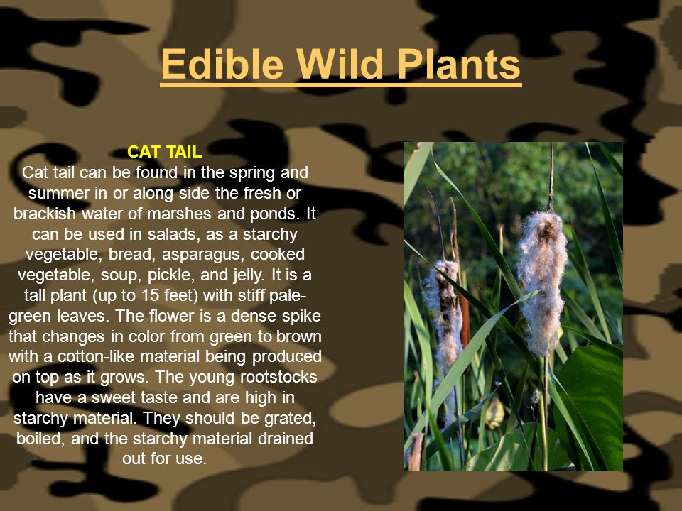 Edible Wild Plants CAT TAIL