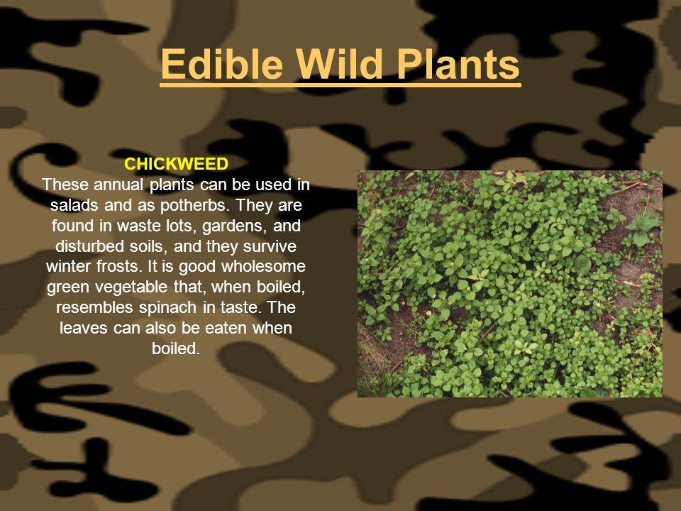 Edible Wild Plants CHICKWEED