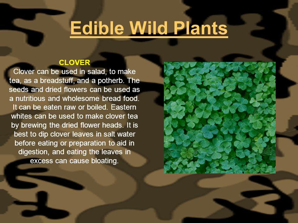 Edible Wild Plants CLOVER