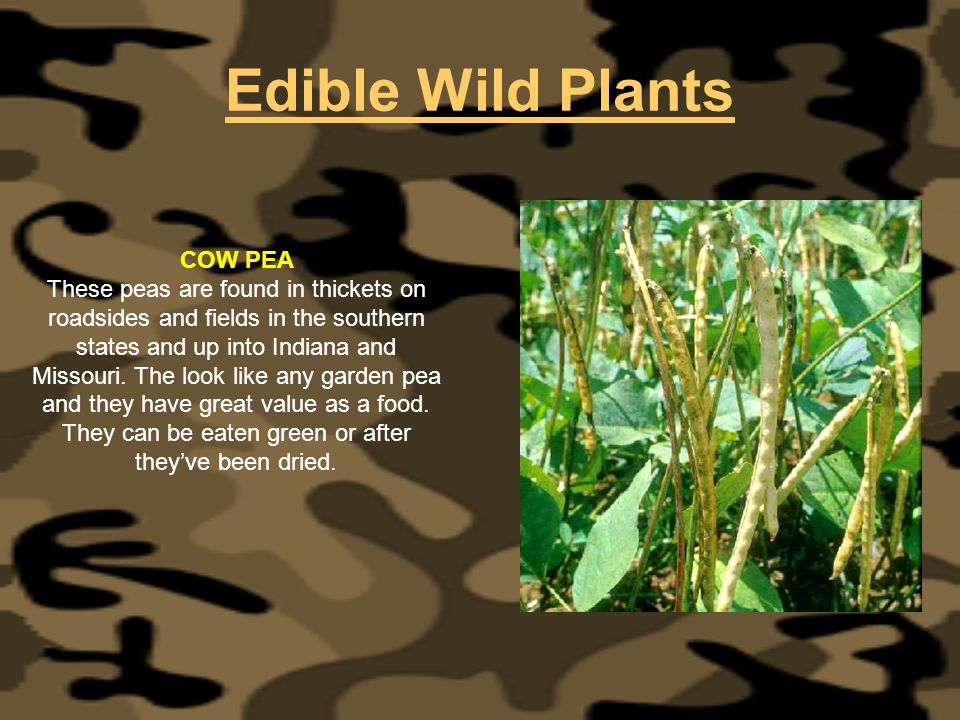 Edible Wild Plants COW PEA