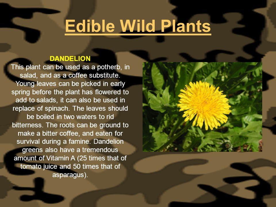 Edible Wild Plants DANDELION