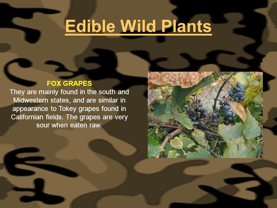 Edible Wild Plants FOX GRAPES