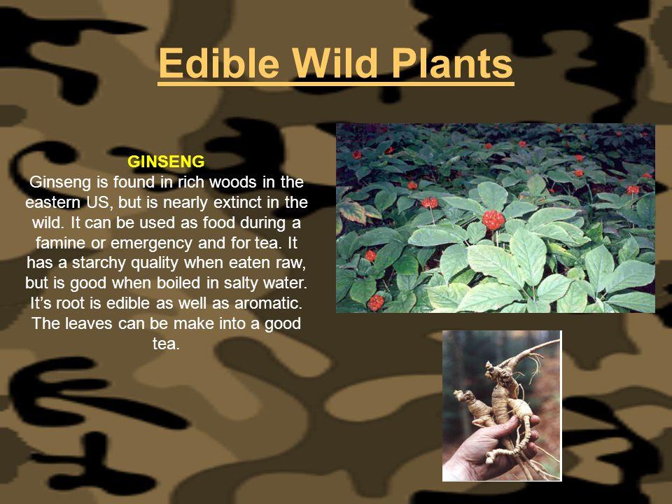 Edible Wild Plants GINSENG