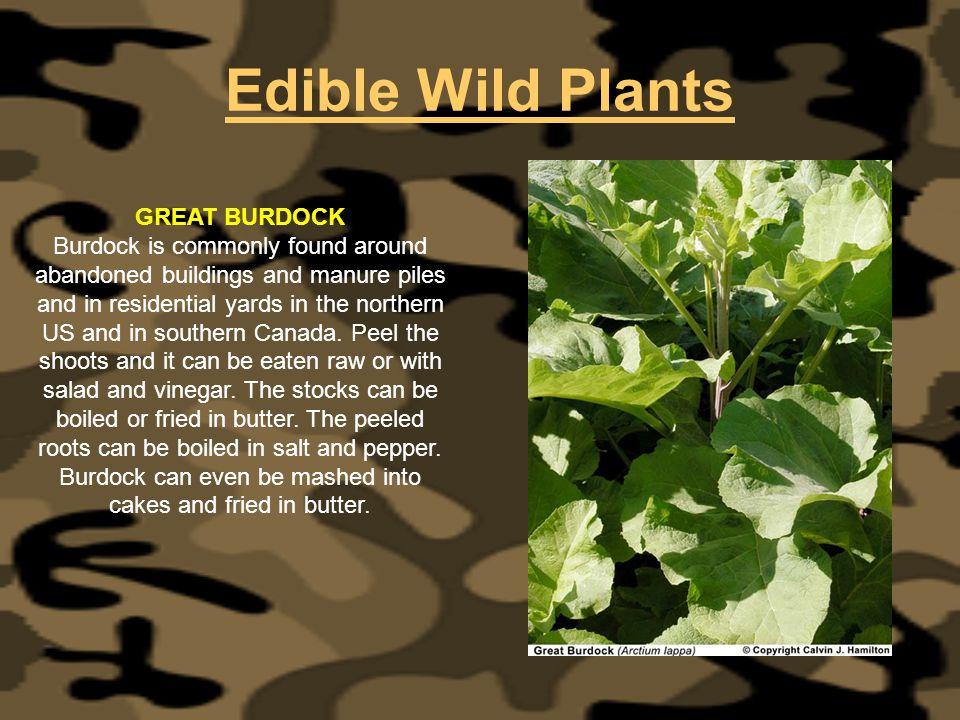 Edible Wild Plants GREAT BURDOCK