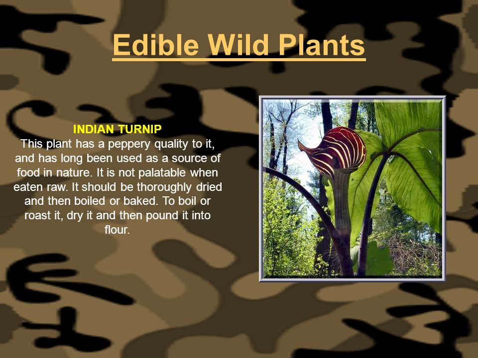 Edible Wild Plants INDIAN TURNIP