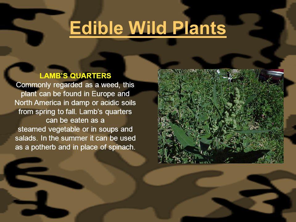 Edible Wild Plants LAMB'S QUARTERS