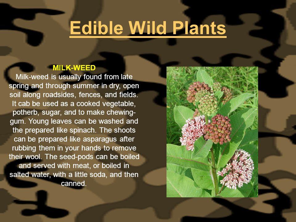 Edible Wild Plants MILK-WEED