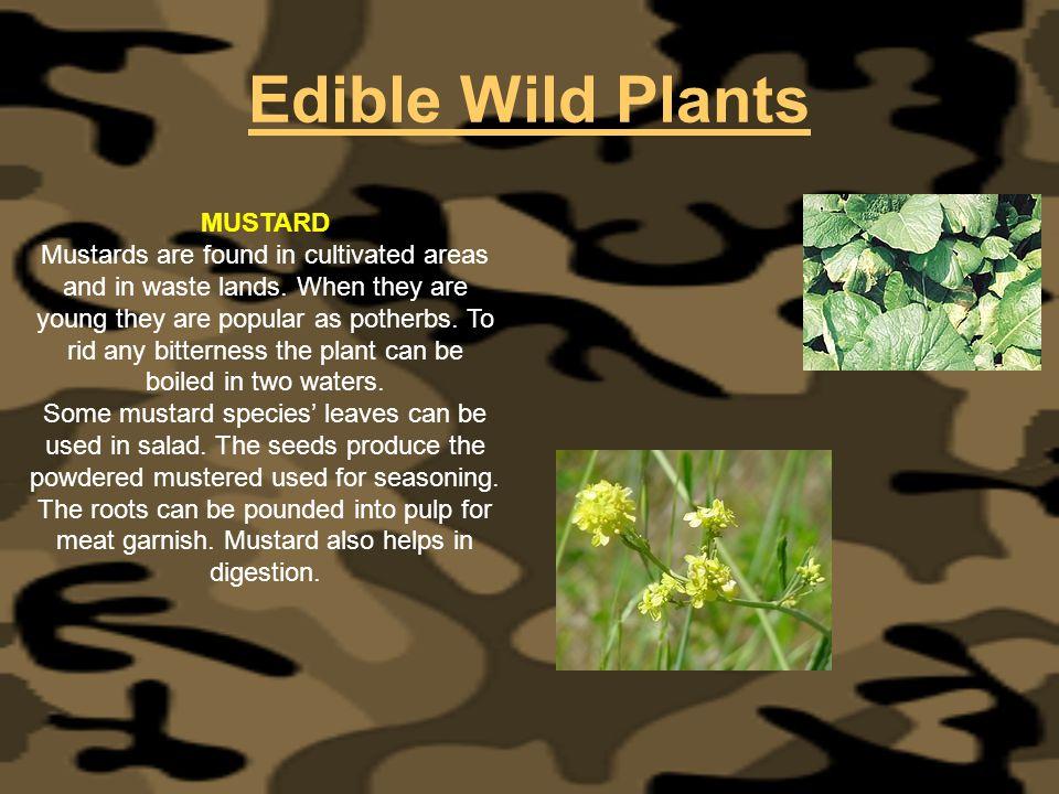 Edible Wild Plants MUSTARD