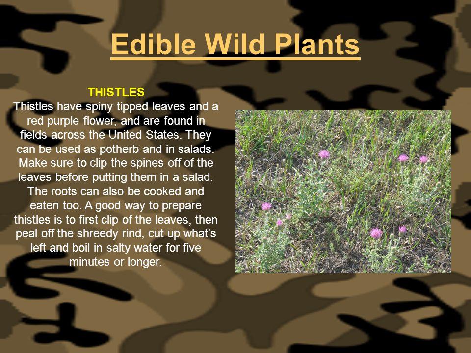 Edible Wild Plants THISTLES