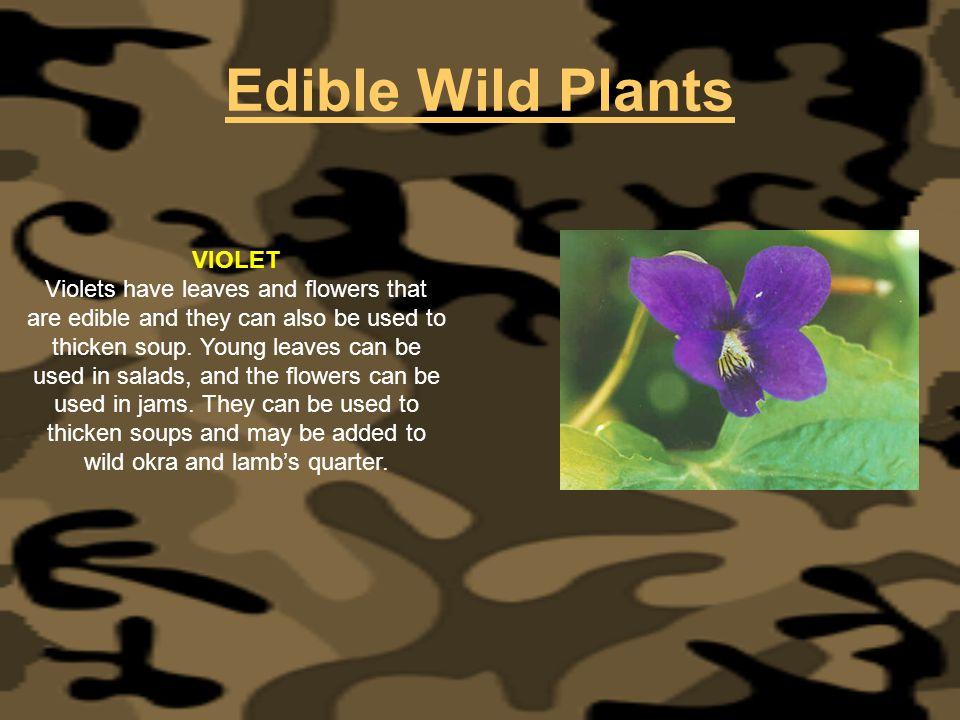 Edible Wild Plants VIOLET