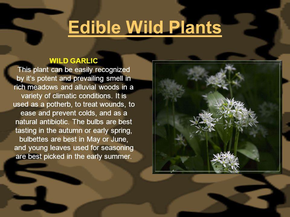 Edible Wild Plants WILD GARLIC