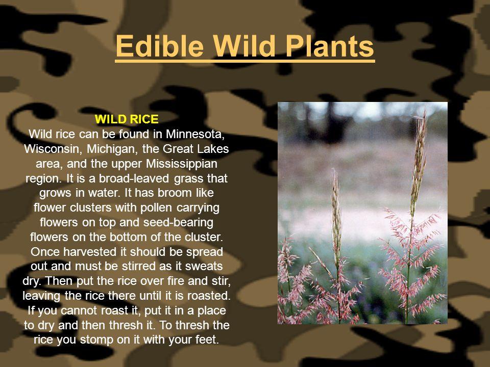 Edible Wild Plants WILD RICE