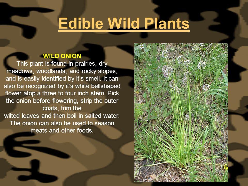 Edible Wild Plants WILD ONION