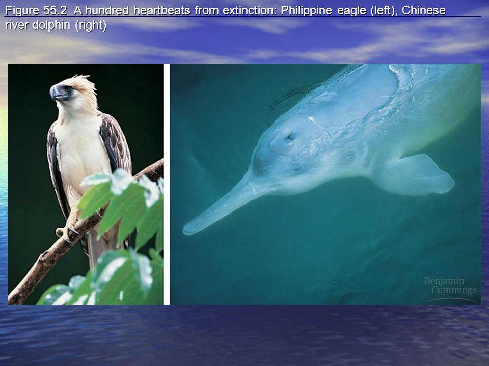Figure 55.2 A hundred heartbeats from extinction: Philippine eagle (left), Chinese river dolphin (right)