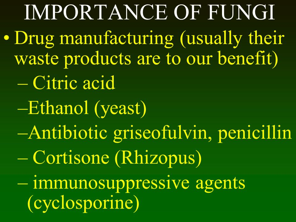 IMPORTANCE OF FUNGI Drug manufacturing (usually their waste products are to our benefit) Citric acid.