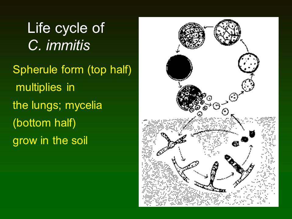 Life cycle of C. immitis Spherule form (top half) multiplies in